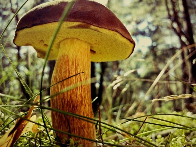 фото как выглядит гриб маховик